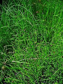 240px equisetum scirpoides 001