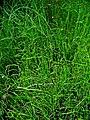 Equisetum scirpoides 001.JPG