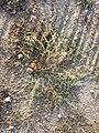 Eragrostis virescens sl5.jpg