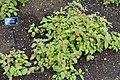 Eranthis hyemalis - RHS Garden Harlow Carr - North Yorkshire, England - DSC01109.jpg