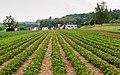 Erdbeerfeld in Tägerwilen TG.jpg