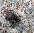Erdkröte (Bufo bufo) Wohldorfer Wald.jpg