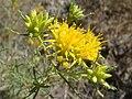 Ericameria-laricifolia-20070927.JPG