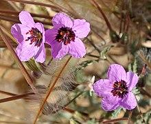 Erodium cicutarium Negev.JPG