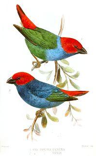 Royal parrotfinch Species of bird
