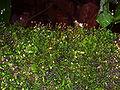 Esporos de musgo2.jpg