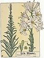 Etude de la plante - p.19 fig.16 - Lis blanc.jpg
