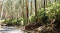 Eucalyptus Grandis Plantation, Gudalur - panoramio (1).jpg