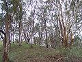 Eucalyptus albens.jpg