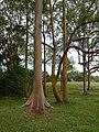 Eucalyptus deglupta-trees2.jpg