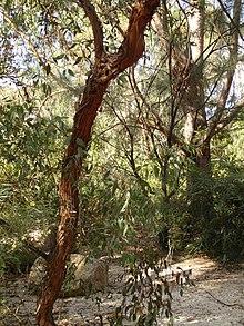 Eucalyptus macrandra Eucalyptus macrandra Wikipedia