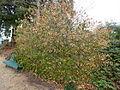 Euonymus fortunei 'vegeta'.JPG
