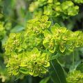 Euphorbia azorica-IMG 5859.jpg