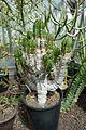 Euphorbia echinus-Jardin des plantes de Nantes.jpg