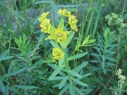 Euphorbia esula.jpeg