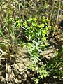 Euphorbia exigua sl6.jpg