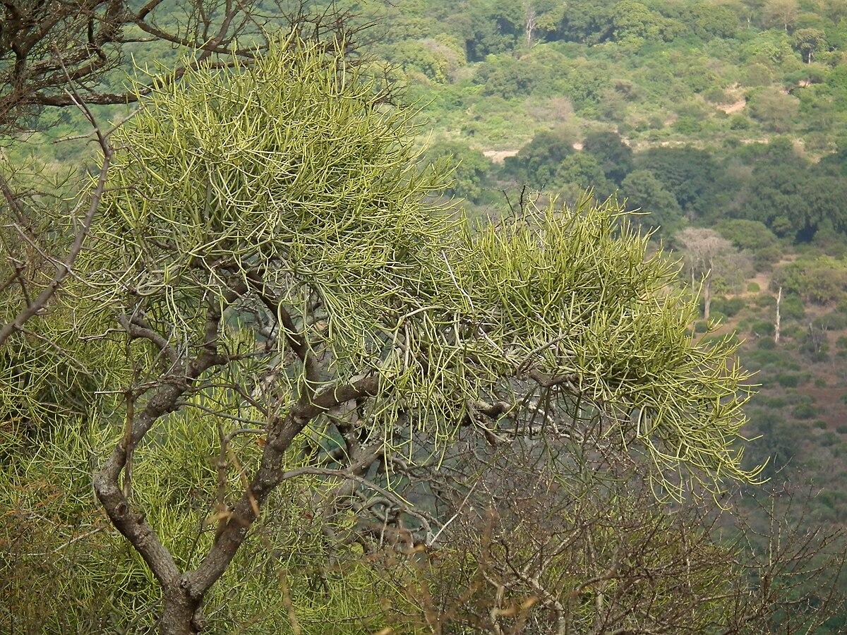 Euphorbia tirucalli, Flora of Tanzania 4532 Nevit.jpg