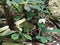 Euphorbia viguieri - Palmengarten Frankfurt - DSC01691.JPG