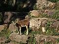 Europäischer Mufflon Wildpark Pforzheim.JPG