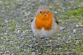 European Robin (Erithacus rubecula) (25326057214).jpg