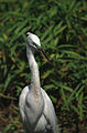 Everglades52(js)-Great Egret.jpg