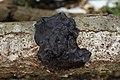 Exidia glandulosa Exidia truncata.jpg