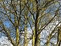 Fagales - Quercus robur - 001.jpg