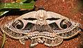 Faint Owl Moth (Cometaster pyrula) (16667998461).jpg