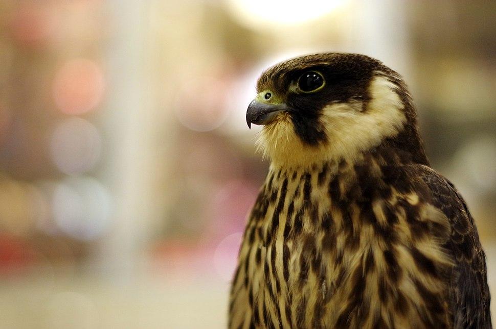 Falco subbuteo2