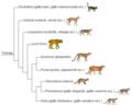 Felinae phylogeny (ita).png