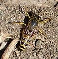 Female Bembix ocellatus (32687941594).jpg