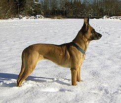Female Malinois 2005-01-29.jpg