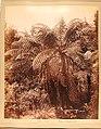Fern Tree, New Zealand (69507d0d-6a1d-4761-8ca6-650e5ddff99c).JPG