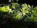 Ferns in Roseville Minnesota.jpg