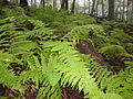 Ferns in the mist (7183546497) (2).jpg