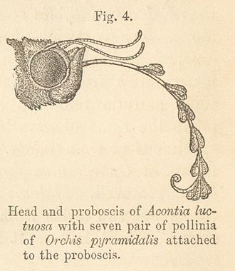 Anacamptis pyramidalis - Charles Darwin's book Fertilisation of Orchids included an illustration of the head of a moth with its proboscis laden with several pairs of pollinia from Orchis pyramidalis
