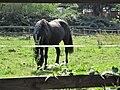 Ffm-Niederursel, Pferdekoppeln (3).jpg