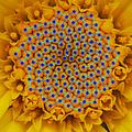 FibonacciChamomile.PNG