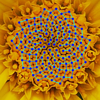 Fibonacci number - Yellow Chamomile head showing the arrangement in 21 (blue) and 13 (aqua) spirals. Such arrangements involving consecutive Fibonacci numbers appear in a wide variety of plants.