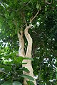 Ficus populifolia-Jardin des Plantes de Paris (5).jpg