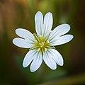 Field chickweed (49472413531).jpg