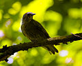 Fieldfare on a branch (18792410645).jpg