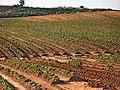Fields of Gan Shlomo, Shfelah , Israel שדות קבוצת שילר, שפלת יהודה - panoramio (1).jpg