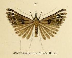 Fig.15-Microschismus fortis.JPG