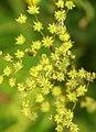 Filipendula vulgaris - fruits.jpg
