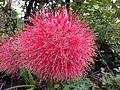 Fireball Lily (Scadoxus).jpg