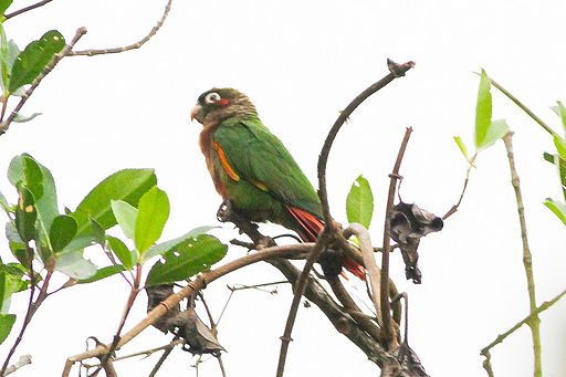Flame-winged Parakeet (Pyrrhura calliptera) (8079736887)