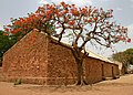 Flame tree cropped.jpg