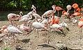 Flamingo (Phoenicopterus roseus), Tierpark Hellabrunn, Múnich, Alemania, 2012-06-17, DD 02.JPG