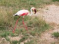 Flamingo in Amboseli National Park.jpg